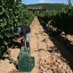 La cosecha de la DO Bierzo: 11,4 millones de kilos vendimiados