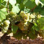 Los vinos DO León 2020, serán frescos, aromáticos y expresivos.