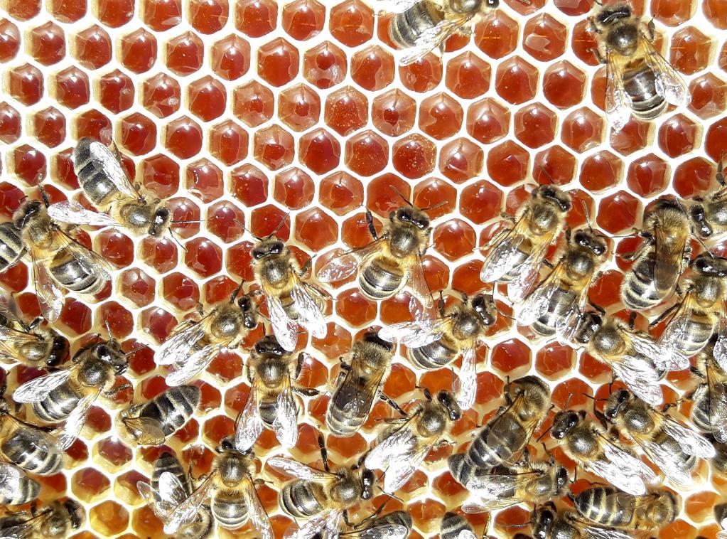 miel-bosques-del-torio-ladespensa-diariodeleon_0000_Abejas-en-panal